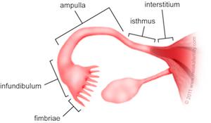 fallopian tubes close up